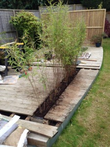 Bamboo planted